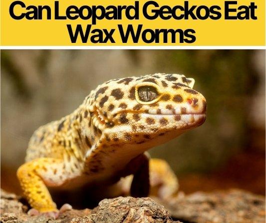 Can Leopard Geckos Eat Wax Worms
