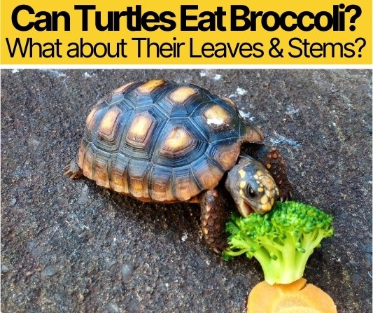 Can Turtles Eat Broccoli