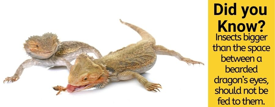 Can bearded dragons eat mealworms