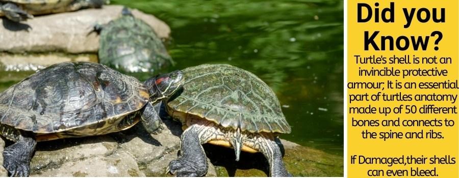 Can turtles feel through their shell