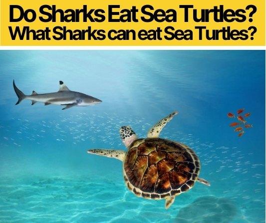 Do Sharks Eat Sea Turtles