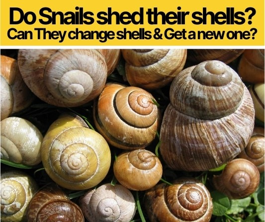 Do Snails shed their shells