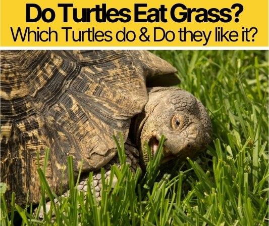 Do Turtles Eat Grass