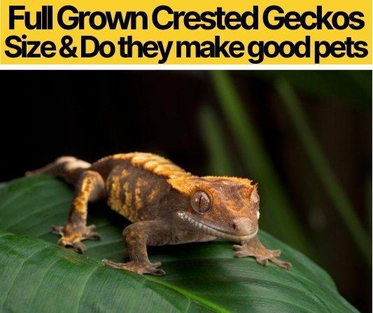 Full Grown Crested Gecko