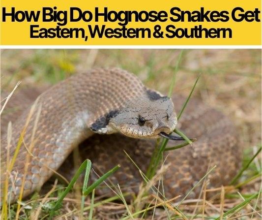 How Big Do Hognose Snakes Get