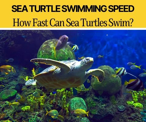 How fast can sea turtles swim
