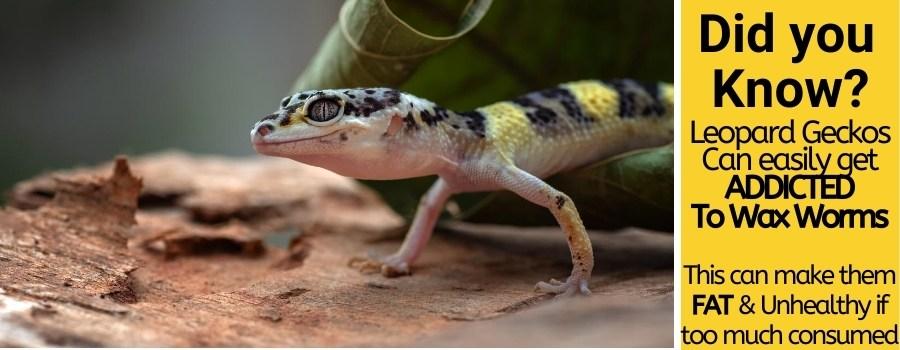 Leopard Geckos Can Eat Wax Worms