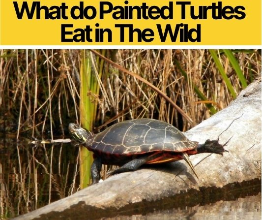 What do Painted Turtles Eat in The Wild