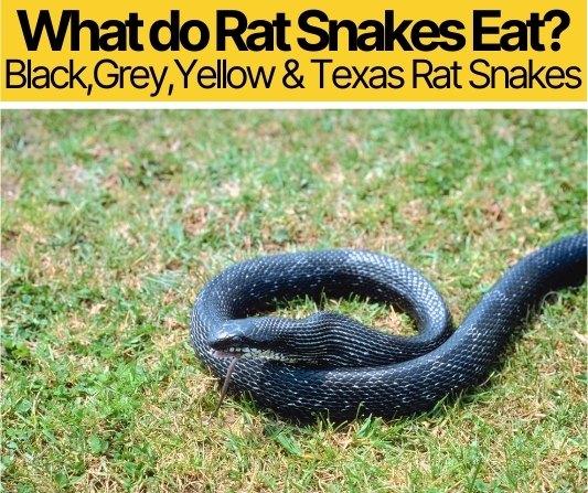 What do Rat Snakes Eat