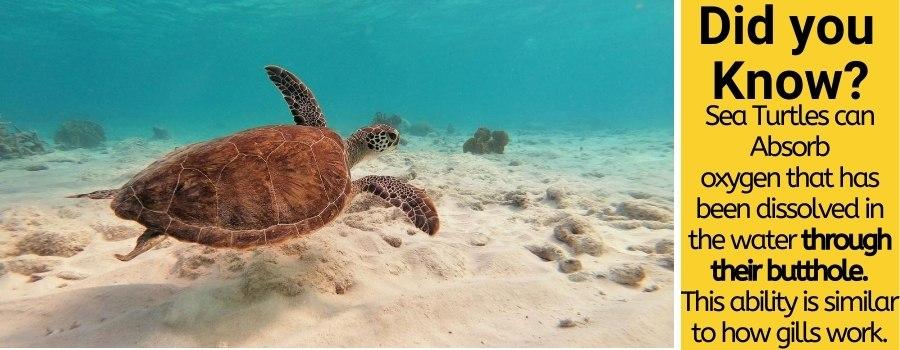 do sea turtles breathe air