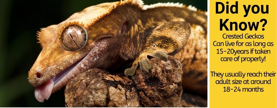 how large crested geckos get & How to make them grow faster