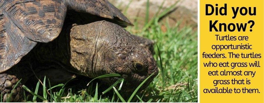 turtles do eat grass
