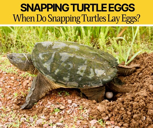 when do snapping turtles lay eggs