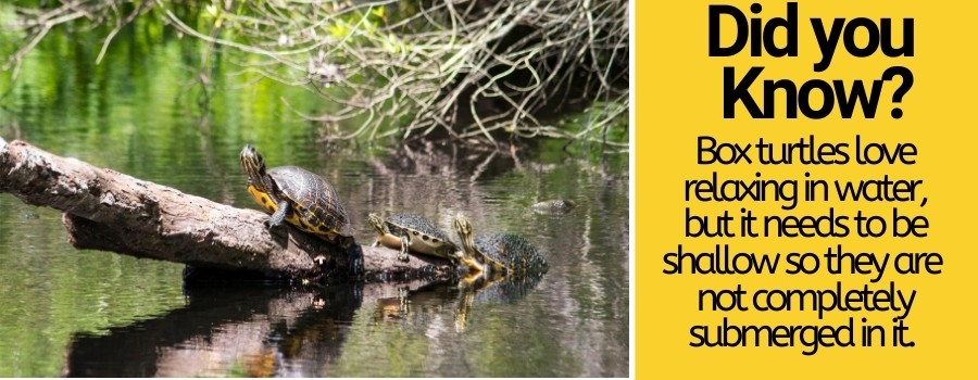 box turtles need water